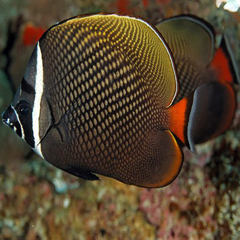 Collare Butterfly (Chaetodon collare) - Marine World Aquatics
