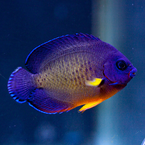 Coral Beauty - (Centropyge bispinosus), Fish by marineworld.co.uk