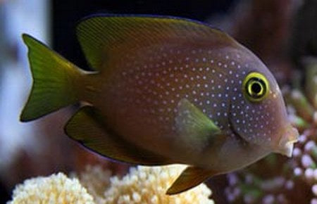 Yellow Eye Tang (Ctenochaetus strigosus) - Marine World Aquatics
