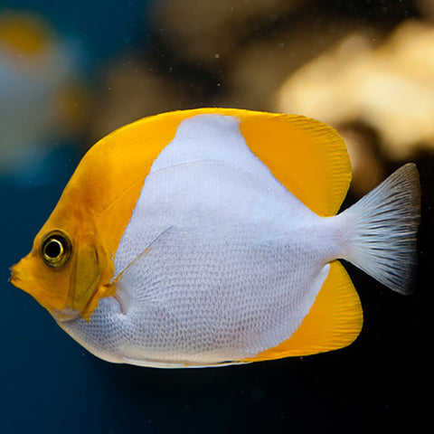 Diamond Butterfly - Yellow (Hemitaurichthys polylepis), Fish by marineworld.co.uk
