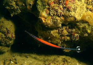 Pipefish - Flame (Doryrhamphus janssi) - Marine World Aquatics