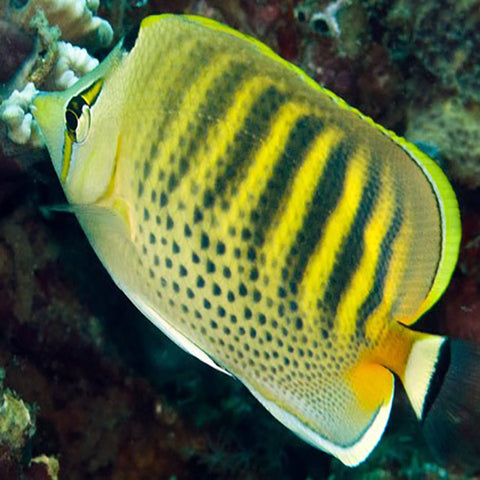 Dot Dash Butterfly (Chaetodon punctatofasciatus), Fish by marineworld.co.uk