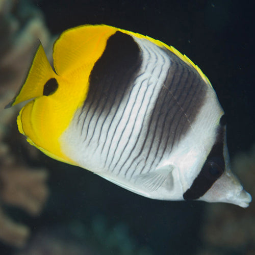 Double Saddle Butterfly (Chaetodon ulietensis), Fish by marineworld.co.uk
