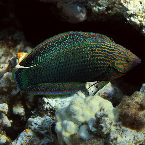 Dusky Wrasse - Adult (Halichoeres marginatus) - Marine World Aquatics