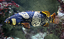 Queensland Grouper (Epinephelus lanceolatus) - Marine World Aquatics