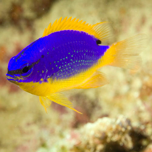 Fijian Blue & Gold Damsel (Chrysiptera taupou) - Marine World Aquatics