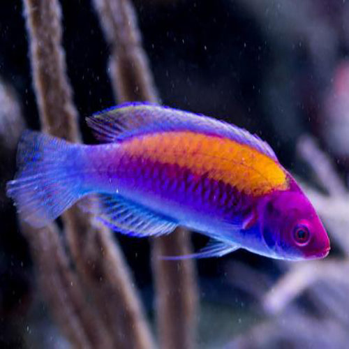 Gold Flash Dwarf Parrot (Cirrhilabrus aurantidorsalis) - Marine World Aquatics