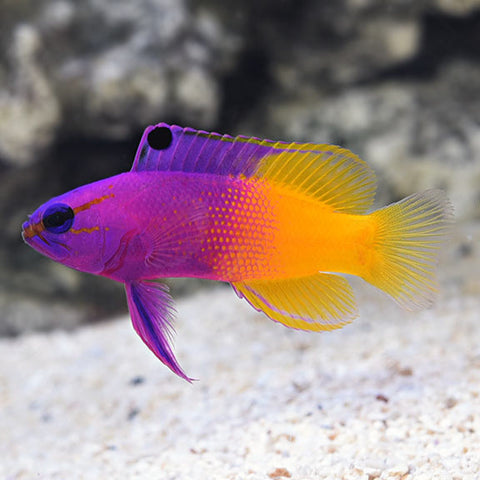Gramma - Royal (Gramma loreto) - Marine World Aquatics