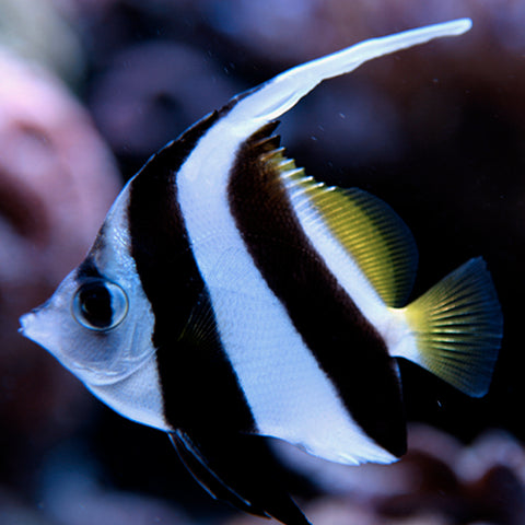 Heniochus Butterfly - B&W (Heniochus acuminatus), Fish by marineworld.co.uk