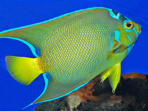 Queen Angel : A (Holacanthus ciliaris) - Marine World Aquatics