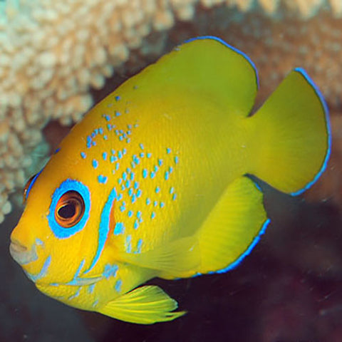 Lemon Peel (Centropyge flavissima), Fish by marineworld.co.uk