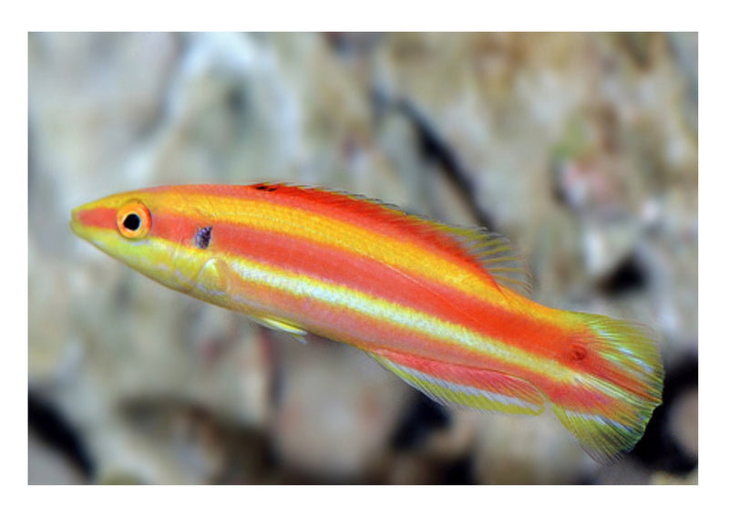 Swiss Guard - African (Liopropoma africanum) - Marine World Aquatics