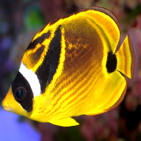 Lunula Butterfly (Chaetodon lunula), Fish by marineworld.co.uk