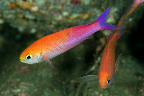 Split Fin Anthias (Luzonichthys whitleyi) - Marine World Aquatics