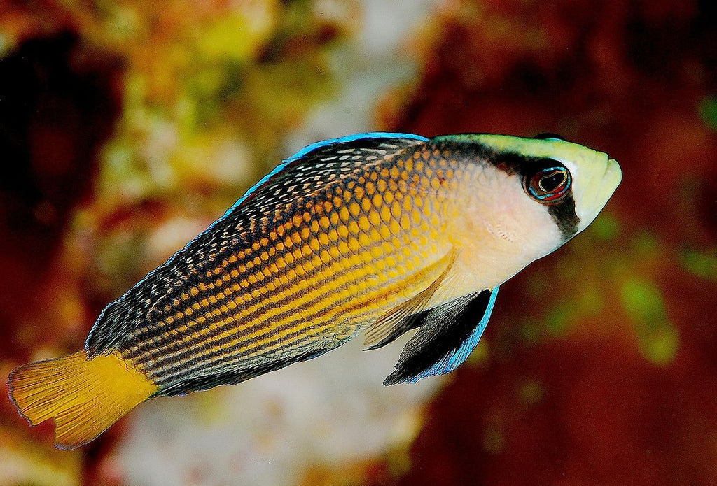 Jewel Pygmy Basslet (Manonichthys splendens) - Marine World Aquatics