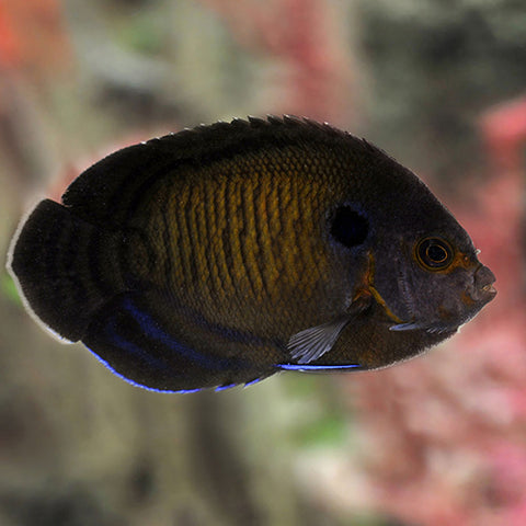 Midnight Angel - Melanesia (Centropyge nox), Fish by marineworld.co.uk
