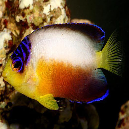 Multicolour Angel (Centropyge multicolor) - Marine World Aquatics