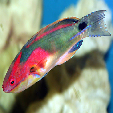 Multicolour Dwarf Parrot (Cirrhilabrus exquisitus) - Marine World Aquatics