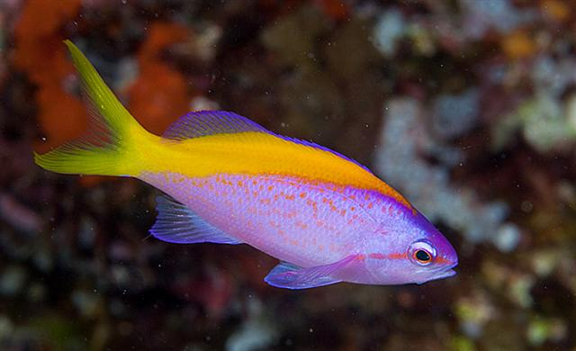 Carberryi Anthias (Nemanthias carberryi) - Marine World Aquatics