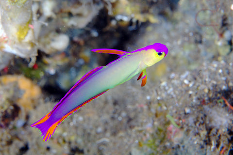 Firefish - Purple (Nemateleotris decora) - Marine World Aquatics