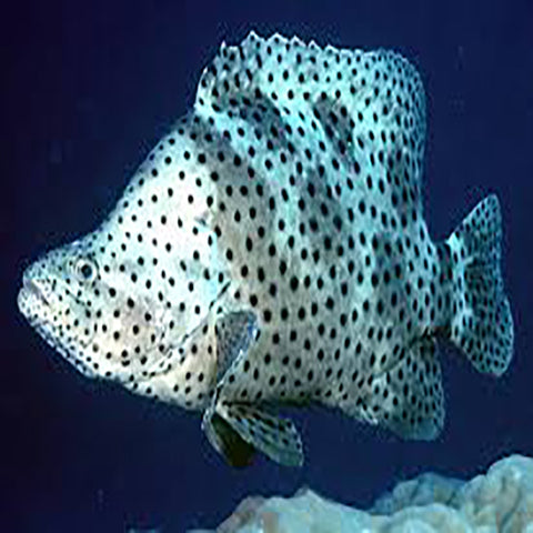 Panther Grouper (Chromileptes altivelis) - Marine World Aquatics