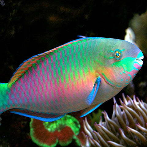 Parrotfish - Quoyi (Scarus quoyi), Fish by marineworld.co.uk