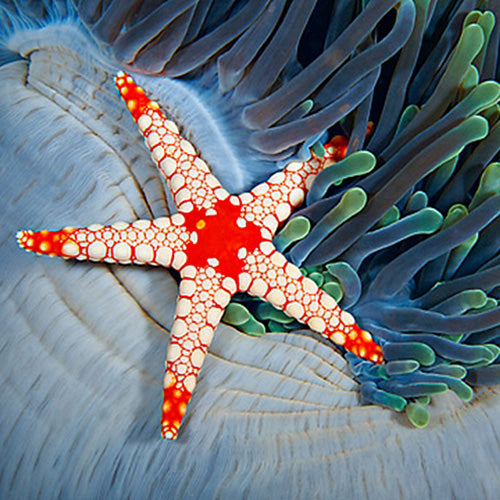 Pearl Starfish (Fromia cf monilis) - Marine World Aquatics