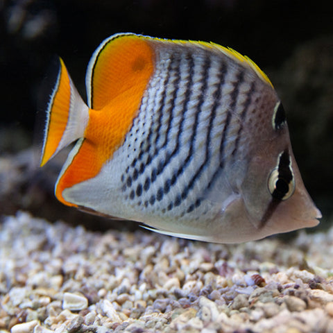 Pearlscale Butterfly -Red- (Chaetodon madagascariensis), Fish by marineworld.co.uk