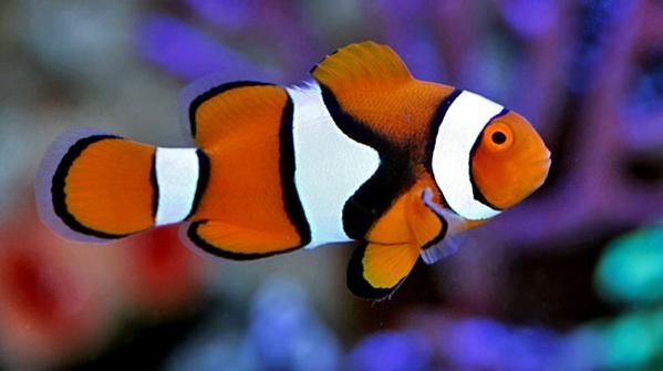 Percula Clown (Amphiprion ocellaris) - Marine World Aquatics