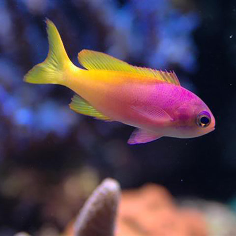 Pictilis Anthias - Female (Pseudanthias pictilis) - Marine World Aquatics