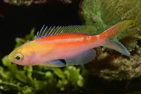 Golden Anthias (Pseudanthias aurulentus) - Marine World Aquatics