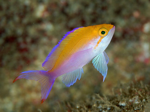 Bicolour Anthias (Pseudanthias bicolor) - Marine World Aquatics