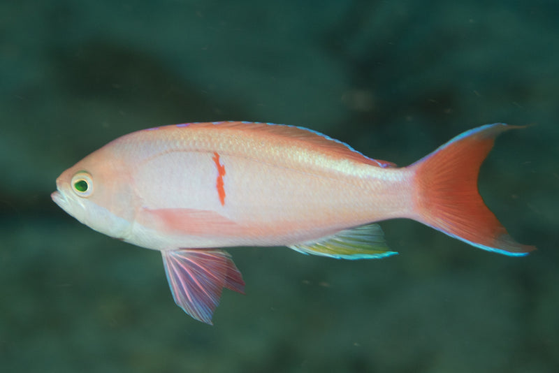 Bleeding Heart Anthias (Pseudanthias cooperi) - Marine World Aquatics