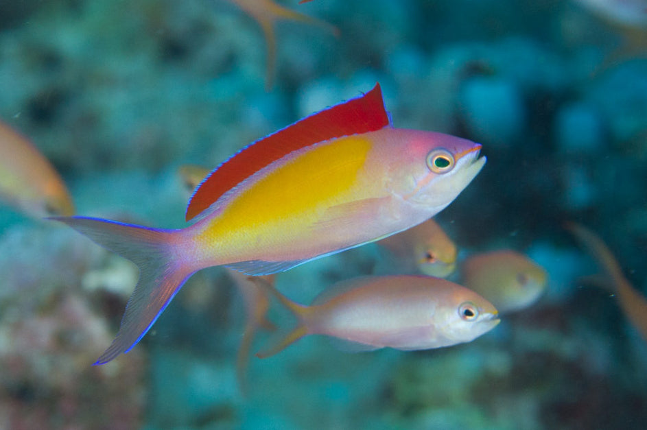 Dispar Anthias - Coral Sea (Pseudanthias dispar)