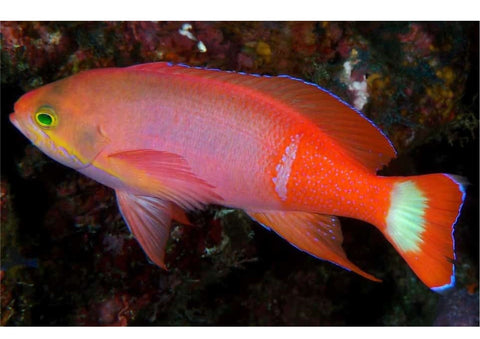 Pictilis Anthias - Male (Pseudanthias pictilis) - Marine World Aquatics
