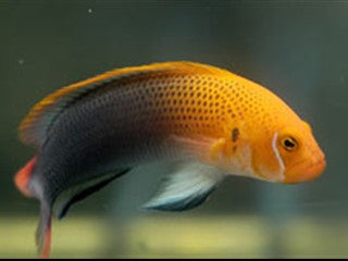 Orange Head Basslet (Pseudochromis steenei) - Marine World Aquatics