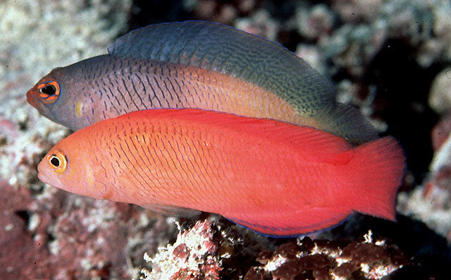 Long Fin Dottyback (Pseudoplesiops typus) - Marine World Aquatics