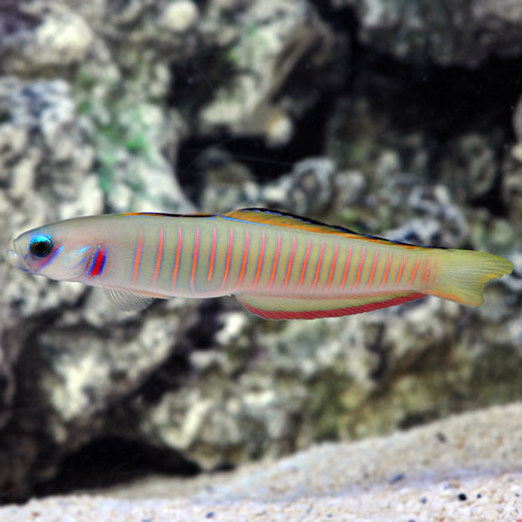 Shotsilk Goby - West Ind Ocean (Ptereleotris zebra) - Marine World Aquatics
