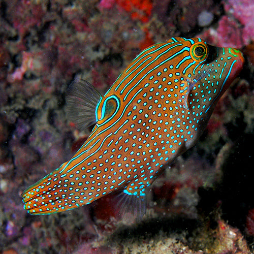 Puffer - Blue Spot (Canthigaster papua), Fish by marineworld.co.uk