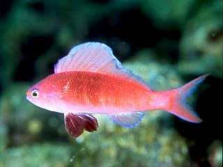 Sailfin Anthias (Rabaulichthys spp.) - Marine World Aquatics