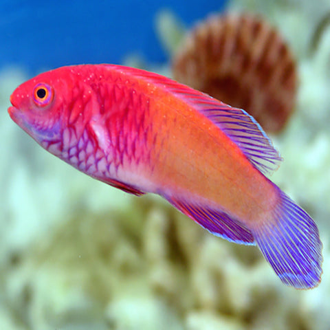 Red Fairy Dwarf Parrot (Cirrhilabrus rubrisquamis), Fish by marineworld.co.uk