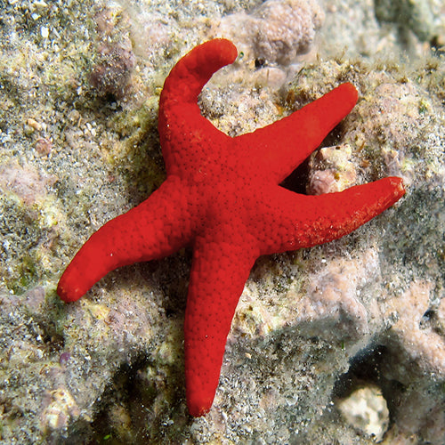 Red Starfish - Spotted (Fromia milleporella) - Marine World Aquatics