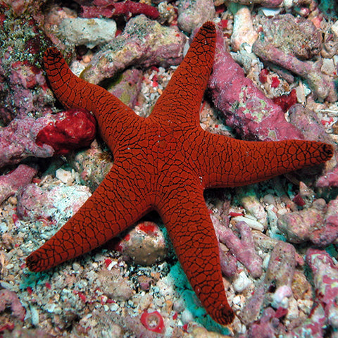 Red Starfish (Fromia indica), Fish by marineworld.co.uk