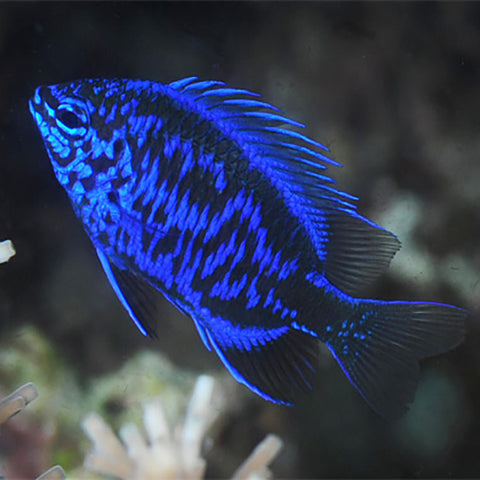 Royal Blue Damsel (Chrysiptera springeri) - Marine World Aquatics