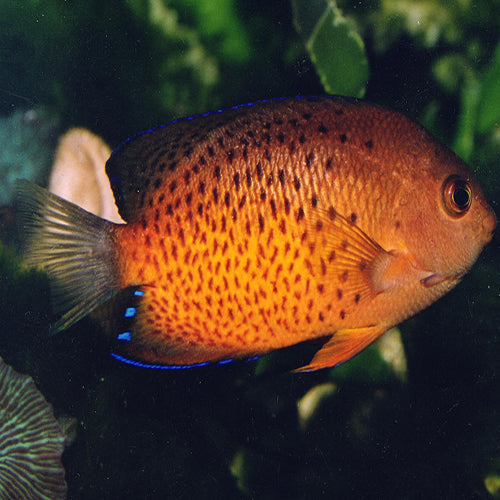 Rusty Angel (Centropyge ferrugata) - Marine World Aquatics