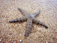 Sand Sifting Starfish (Archaster typicus)