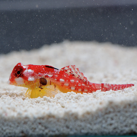Flame / Scarlet Scooter Blenny  (Synchiropus sycorax) - Marine World Aquatics