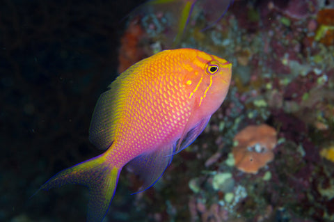 Fat Head Anthias (Serranocirrhitus latus) - Marine World Aquatics
