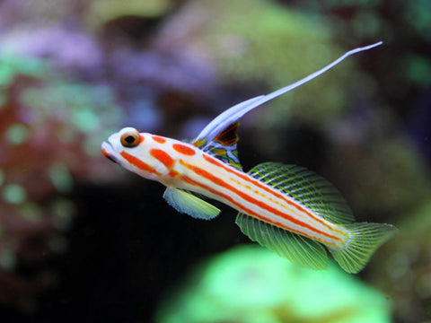 Hi Fin Clown Goby (Stonogobiops yasha) - Marine World Aquatics