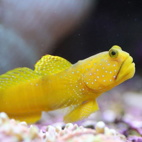 Sulphur Goby (Cryptocentrus cinctus), Fish by marineworld.co.uk